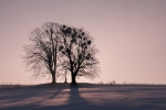 Lípy v zimě